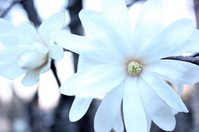 Star Magnolia #1